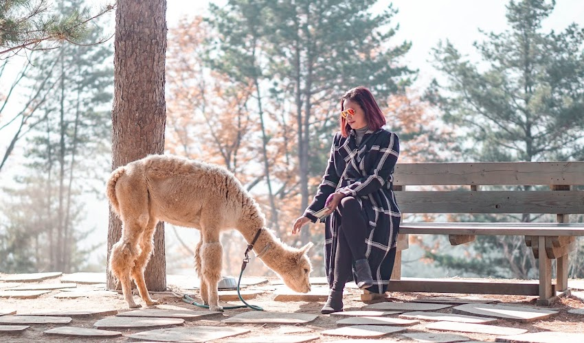 GANGWON: Morning Stroll at Alpaca World