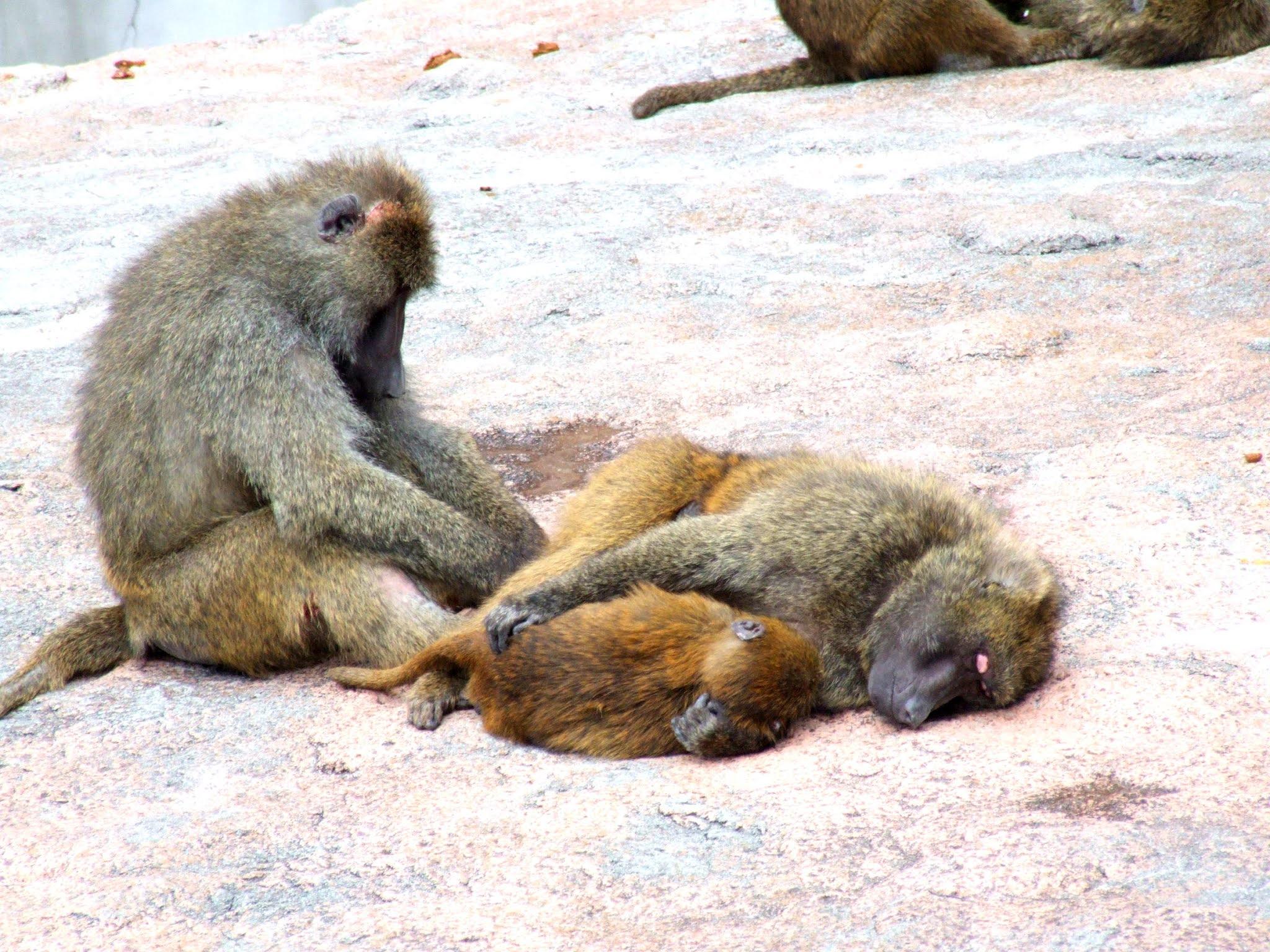 三匹のオナガザル科のアヌビスヒヒ(またの名をドグエラヒヒ)と言うお猿さん🐵の写真素材です。毛づくろいするサルと、赤ちゃんを抱っこするサル。夫婦と子供かなって思うんですけど、どうなんだろう。