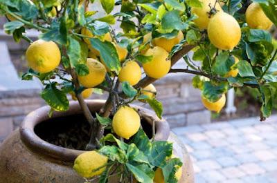 Cultivar un limonero en maceta