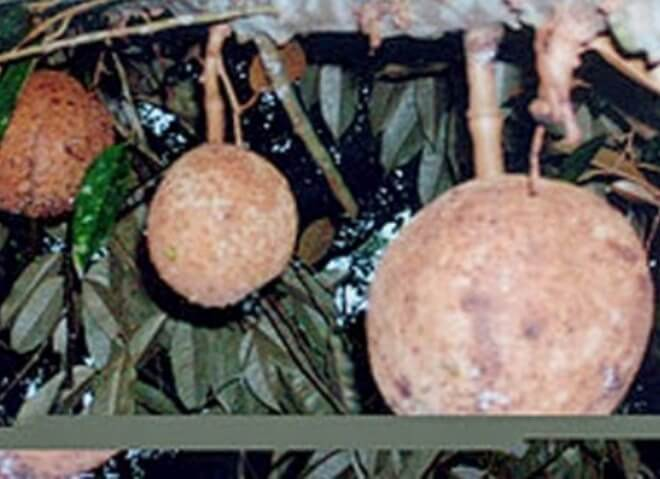 Durian Gondol, Spesis Buah Tanpa Duri