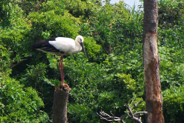 bird, Oriental Stork, Okinawa, Japan