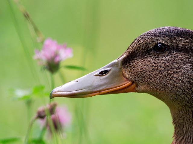 Der Kopf einer Ente mit Blüten im Hintergrund