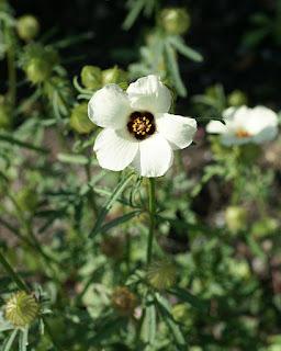 Hibiscus trionum - Ketmia trionum - Ketmie d'Afrique