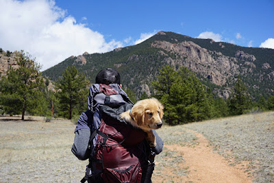 A Golden Retriever puppy is being carried in a backpack