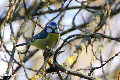 Herrerillo común (Cyanistes caeruleus) picoteando las ramas. Azules, amarillos y una sutil corbata de color azul oscuro son los colores del plumaje de esta especie tan común.