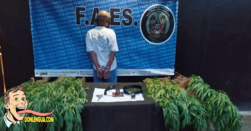 FAES encontró una plantación de marihuana en Lara y entregaron casi toda