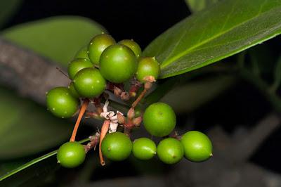 manfaat daun kemuning