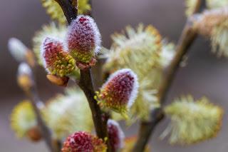 [Salicaceae] Salix sp. – Willow.