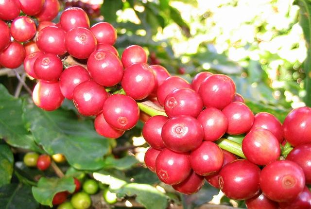 Giá cà phê hôm nay 5/8: Dao động ở mức 36.000 - 38.600 đồng/kg