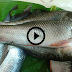 Philippines Most Expensive Fish Found in Cagayan Valley