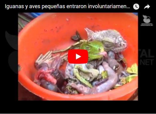 Venden carne de Iguana en el Zulia para matar el hambre