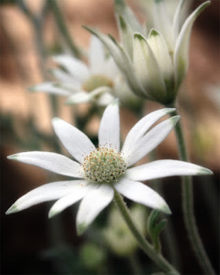 Flannel_flower.jpg