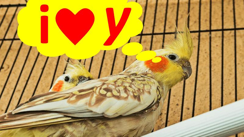 أصوات يستطيع طائر الكوكاتيل تعلمها بسرعة و تغريدها