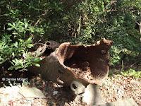 Hollow dead trunk, Tokushima, Shikoku, Japan