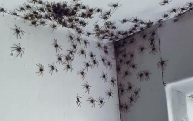 Solo en Australia: Va al cuarto de su hija a matar una araña y se encuentra con cientos de ellas