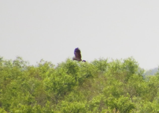 Snail Kite - Lake Kissimmee, Florida