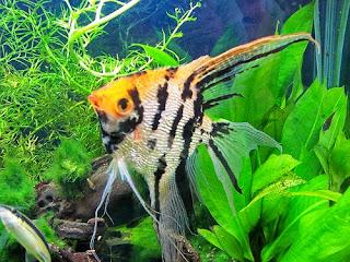 Jenis Ikan Hias Air Tawar