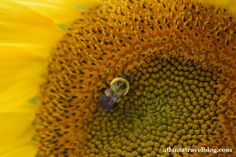 Fausett Farms sunflowers