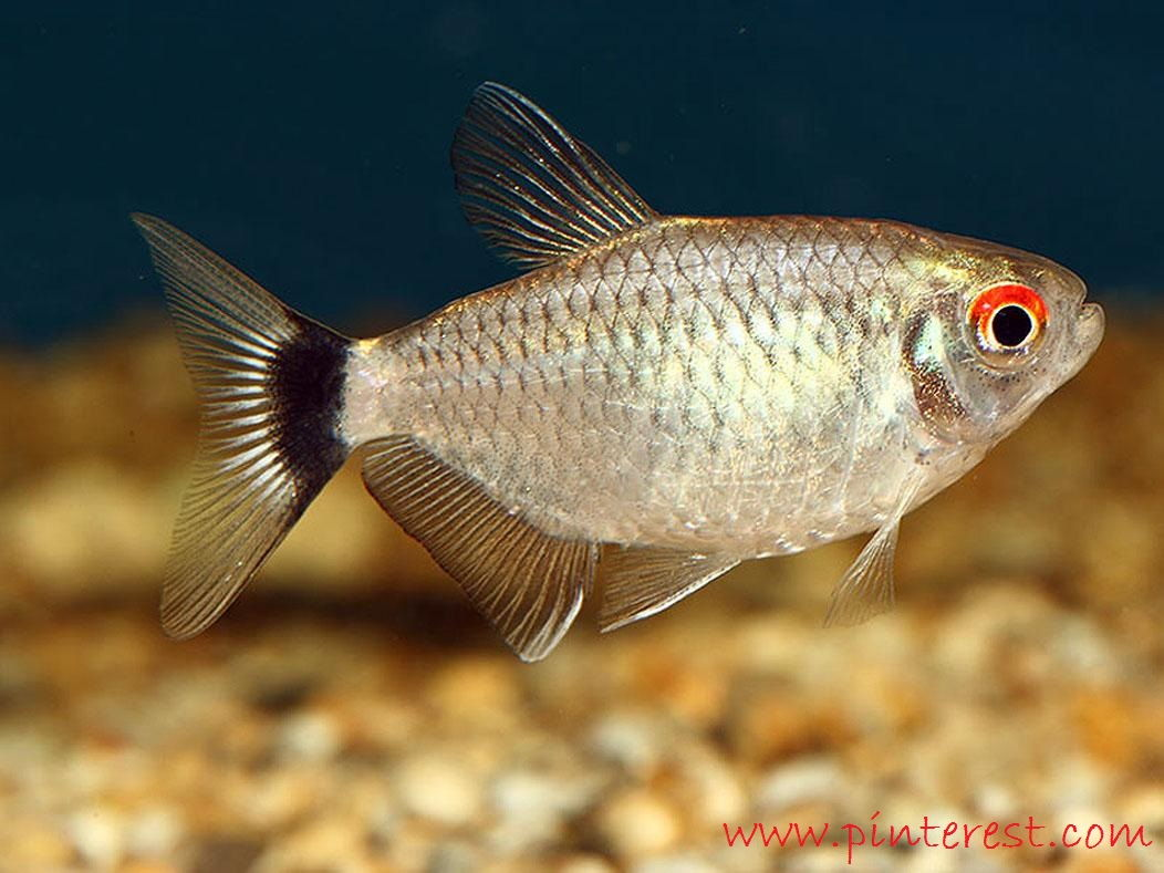 Red Eye Tetra - Jenis Jenis Ikan Hias Air Tawar Aquascape Paling Lengkap