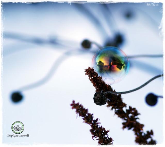 Gartenblog Topfgartenwelt Seifenblase: an Samenstand an Spiere