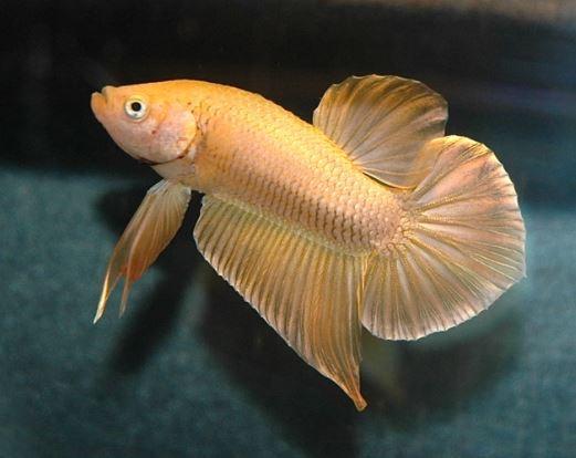Gambar Ikan Cupang Emas