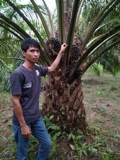 pupuk terbaik kelapa sawit