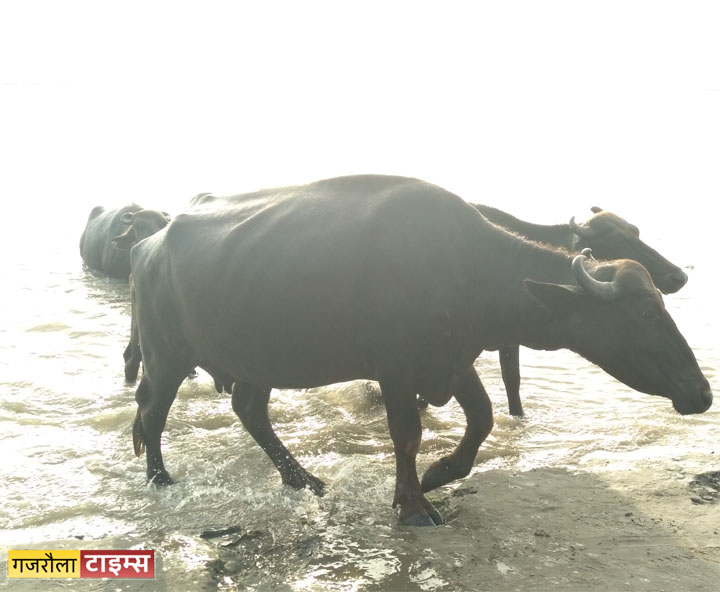 ganga flood tigri buffalo