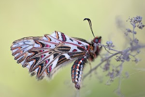 Beautiful White Black and Pink Butterfly