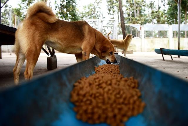 Để những con chó nhanh chóng phục hồi sức khỏe, mỗi tháng có 8 tấn thức ăn giàu chất dinh dưỡng được vận chuyển đến đây.