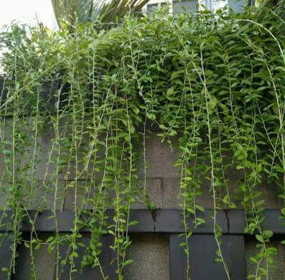 Jual bibit pohon le kwan yew | tanaman rambat - SuryaTaman