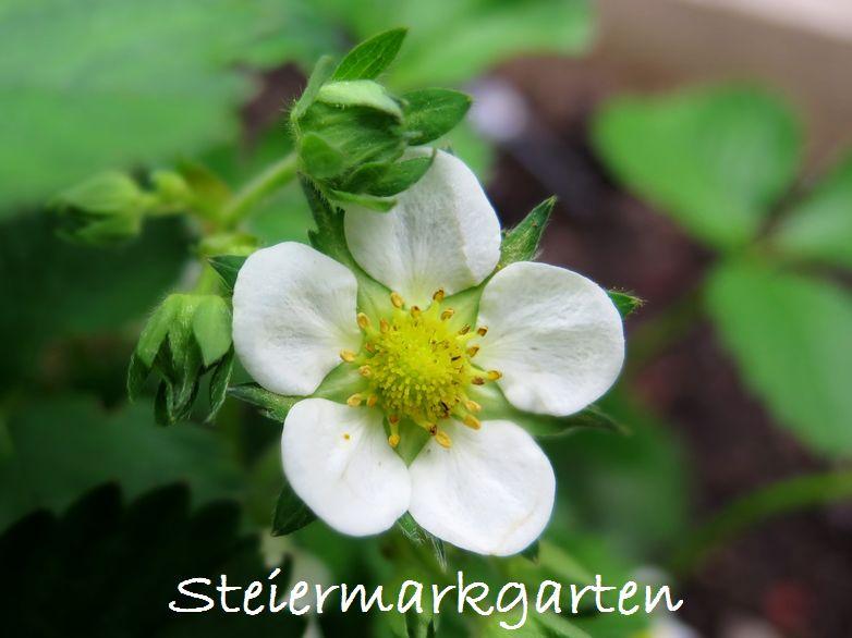 Erdbeerblüte-Steiermarkgarten