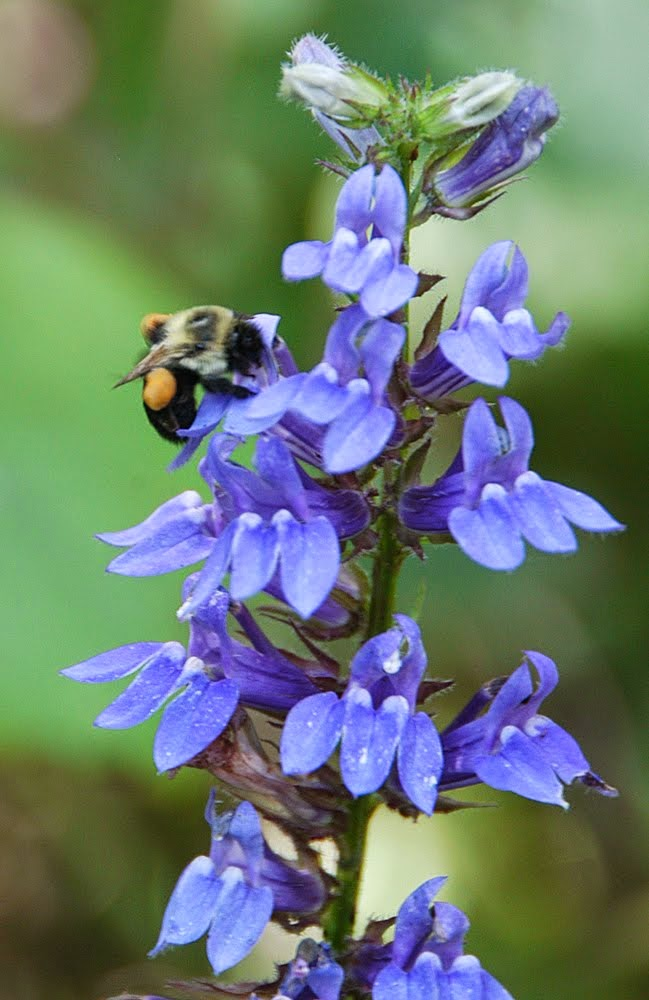 Suggested native plants for pollinators