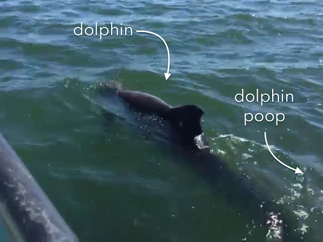 Dolphin pooing
