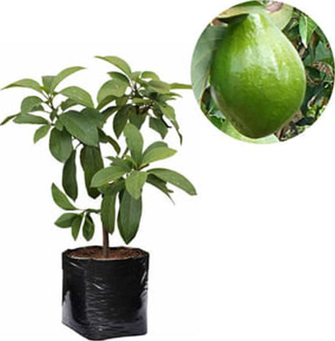 Jaminan Mutu! murah bibit alpukat miki tanaman buah hidup Kota Malang #Jual bibit buah