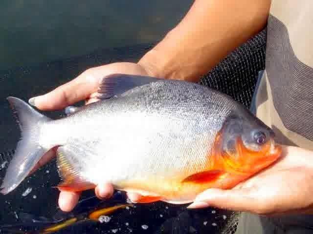 Cara Panen Ikan Bawal