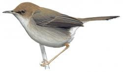 Socotra Warbler