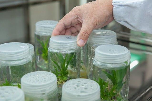 कृषि विज्ञान केंद्र से प्रशिक्षण प्राप्त करने के बाद टिशू कल्चर को घर पर भी उगाया जा सकता है।