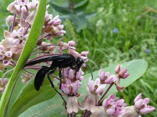 Grand sphex noir - Sphex pensylvanicus