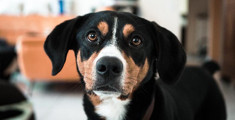 La truffe de votre chien est-elle un bon indicateur de son état de santé ?