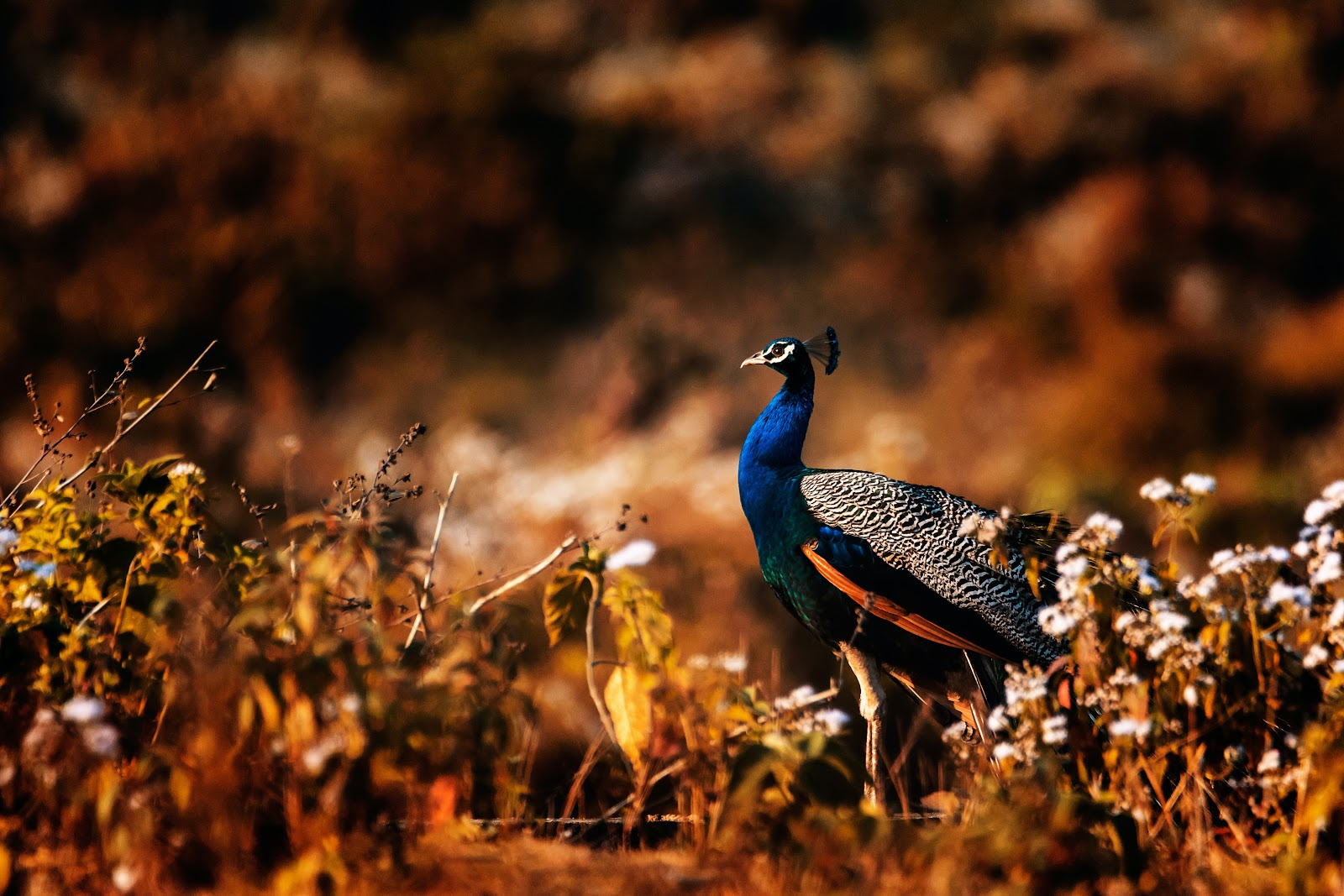 peacock-in-the-field-pictures