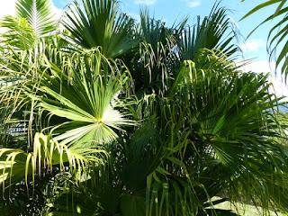 Livistona chinensis - Palmier fontaine