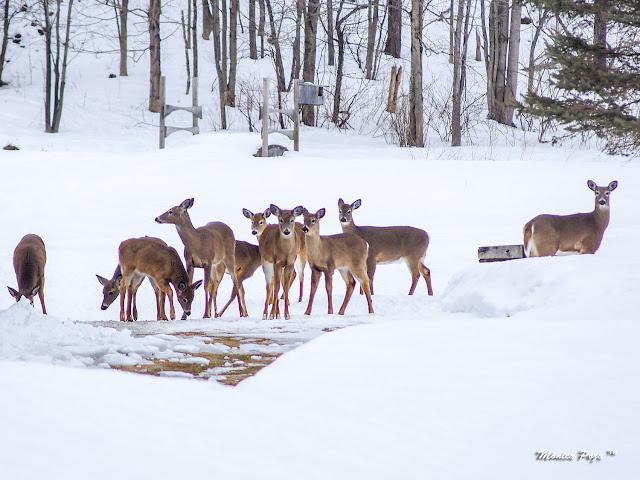 Ciervos de Invierno - Green Lakes, NY por El Guisante Verde Project
