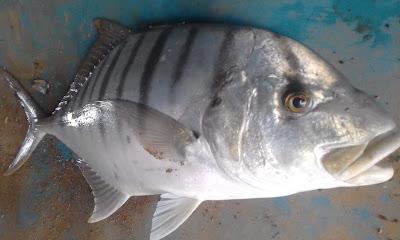 Mancing pakai minnow dapat ikan mangali.JPG