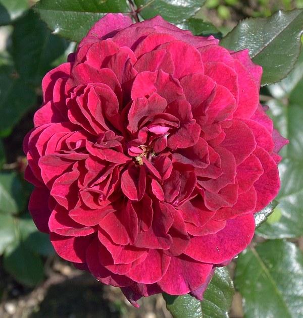 Bellevue роза фото
