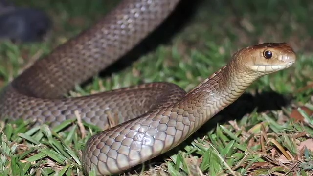 Top 10 Deadliest Snakes in the World, The Eastern Brown Snake