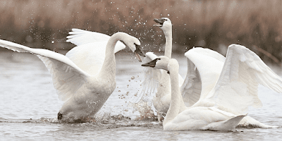 swan farming guide