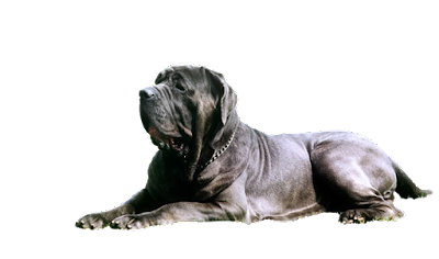 10 Best Giant Guard Dogs Dog Breed Info