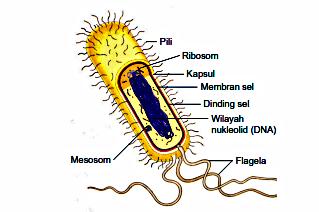 Permalink ke Penjelasan Struktur Sel Prokariotik Basil Dan Fungsinya