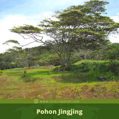 Pohon Jingjing