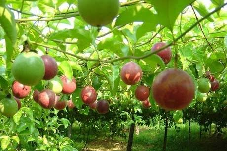 How To Start Passion Fruit Farming In Kenya: A-Z Guide
